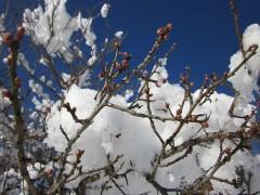 雪と梅の花の蕾