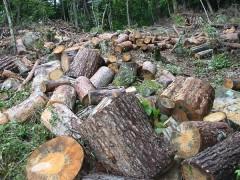 田んぼに日陰を作っていた赤松を伐倒 山で玉切りにする