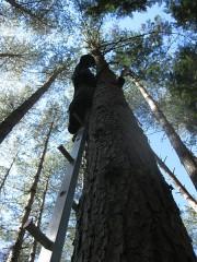 伐倒のため、松の木にロープを掛けているところ