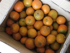 友人から届いた、たくさんの橙