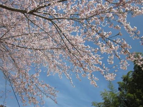 やっと咲いた桜