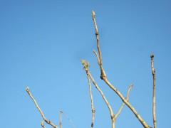 泰阜のタラの芽