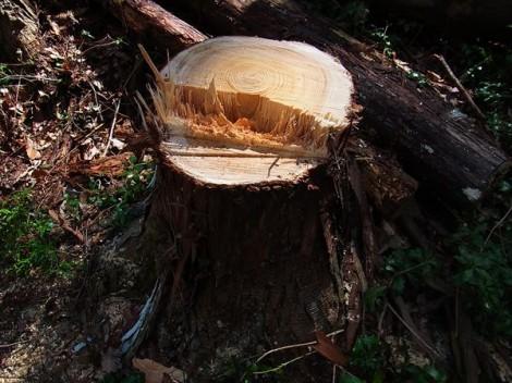 伐倒 年輪 ヒノキ林 里山整備