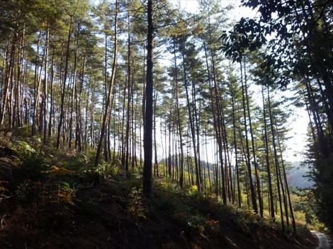 登り窯 薪 赤松 草來舎