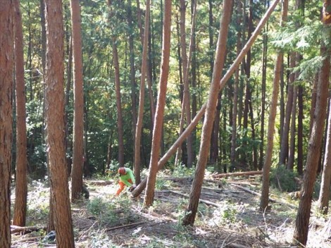 登り窯 薪 赤松 草來舎 山仕事 伐倒 森林教育 環境教育 自然体験